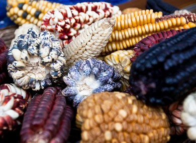 Genetically modified maize varieties will be ap