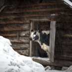 A mountain cow looks out from her stable during a snowfall at the Skansen open air museum in central Stockholm, Sweden.<span class=