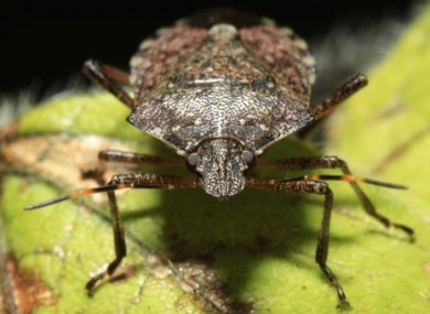 The brown marmorated stink bug