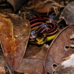 This vibrantly-marked snake is known to eat lizards and hunts through the rainforest for ground-dwelling animals. (Image: Sebastian Gehring/ WWF Madagascar)