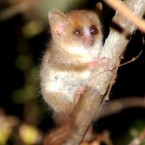 Mouse lemurs are the world's smallest primates. This species, discovered in 2000, is the smallest in the world, with an average body length of just 92 mm. (Image: Louise Jaspar/ WWF Madagascar)