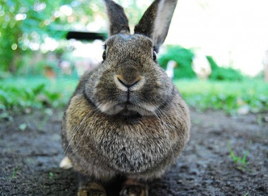 File photo of a rabbit.
