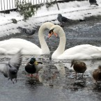 Swans, birds and ducks pictured on the frozen lake in St Stephens Green in Dublin. 