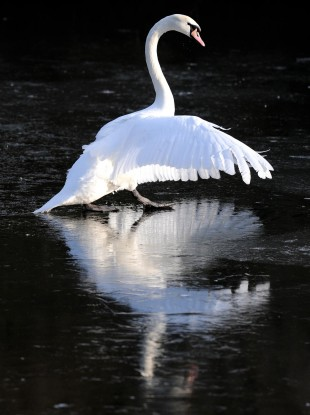 A swan walks on the frozen Marden Quarry in North Tyneside
