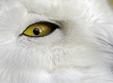 I've got my eye on you: a snowy owl keep tabs on a photographer at the zoo in Gelsenkirchen, Germany.