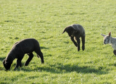 Newborn lambs on a Kildare farm earlier this month