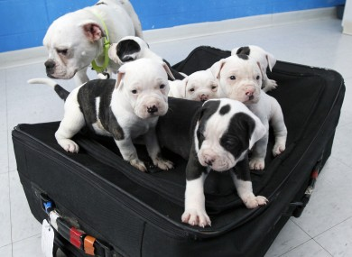 The litter of six English bulldog puppies and their mother.