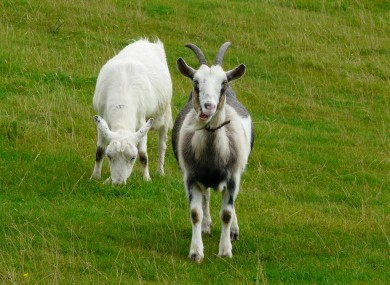 Two goats, not these ones, are hovering around the M7 hard shoulder. Let's be careful out there.