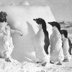 Moulting Adelie penguins after a blizzard at Cape Denison, 1911-1914. (Image: Frank Hurley)