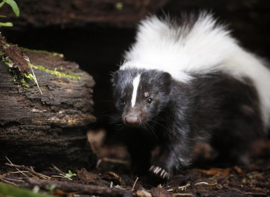 An actual skunk (File photo)