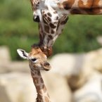 Female giraffe Tamu was born in June. (Image: Dublin Zoo/Patrick Bolger Photography 2012)