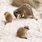 Two meerkat pups were born to a family of four in July. (Image: Dublin Zoo/Patrick Bolger Photography 2012)