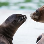 Dublin Zoo is celebrated the birth of a male Californian sea lion pup born who was born in May. (Image: Patrick Bolger)