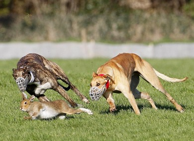 Hare coursing during the National Hare Coursing Championship meeting last year.