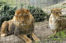 Volunteer killed by lion at California zoo