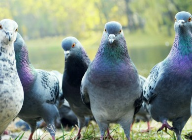 Pigeons: not to be messed with, or flown into.