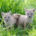 Corsac Fox cubs (born early May) scope out their new home at Tayto Park. Image: Patrick Bolger