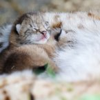 Eurasian Lynx kittens (born 7 days ago). The new additions to Tayto Park are happily snuggling in their new home. Image: Patrick Bolger Image: Patrick Bolger