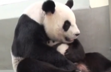 This mama panda cuddling her baby is almost lethally adorable