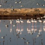 Flamingos stand in a lagoon near Messolongi, in western Greece. The lagoon is part of protected wetlands, that also includes marshes and ponds. The migratory flamingoes use the lagoon and salt evaporation ponds of Messolongi during the summer months before moving further south for the winter. <span class=