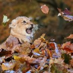Karis, an eleven-week-old lion cub larks around in fallen leaves brushed up by keepers in her enclosure at Blair Drummond Safari Park near Stirling, Scotland.<span class=
