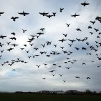 Brent Geese take to the sky over Dublin Bay. (Niall Carson/PA Wire)<span class=