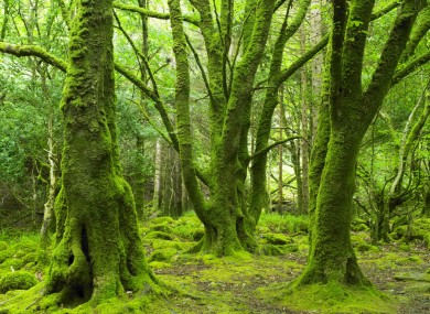 Forest, Killarney National Park, County Kerry.