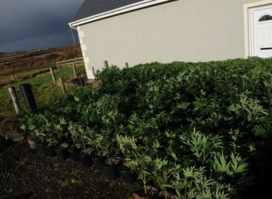 A photo of the cannabis plants at the house