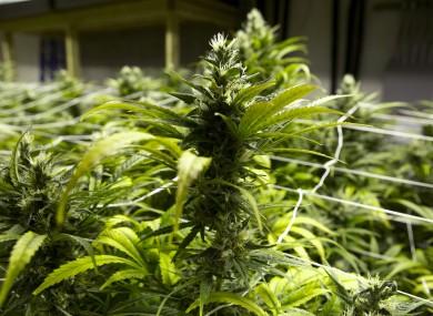 Cannabis plants (File photo)
