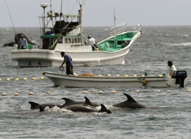 Fishermen drive bottle-nose dolphins into a net during their annual hunt off Taiji, Wakayama Prefecture, western Japan. (2010 photo)