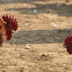 Roosters prepare to take each other on during a rooster fight as part of the Jonbeel festival near Jagiroad, about 75 kilometres (47 miles) east of Gauhati, India. <span class=