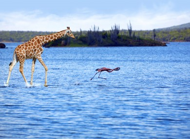 A giraffe and a flamingo. Yes, this picture exists.