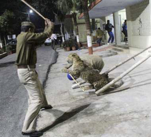 India Leopard Scare