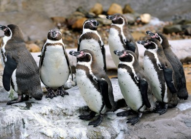 Humboldt penguins at another wildlife centre