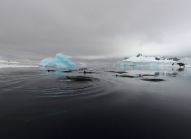 A group of Antarctic minke whales which have been making the mysterious sound.