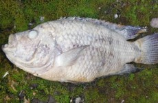 Someone in England has been flushing piranhas down the toilet