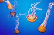 These jellyfish-killing robots could save the fishing industry billions per year