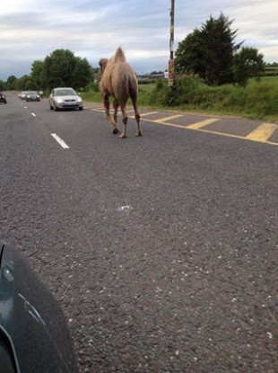 A camel walks along the wrong lane of traffic at Fermoy, Co Cork on 2 July.