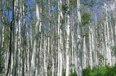 Met Éireann part of international study using birch trees to monitor climate change