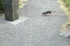 Dubliners: Never mind the seagulls, come sort out our rat problem