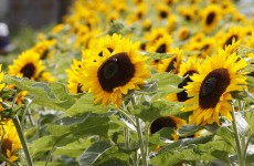 Prisoners at an Irish jail grew thousands of sunflowers to raise money for a hospice