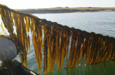 Irish scientists aim to use seaweed to sustainably create bioplastics