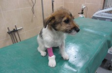 'Barbaric': Puppy had tail cut off before being abandoned