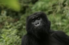 Poachers turned gamekeepers: Rwanda looks to hunters to save mountain gorillas