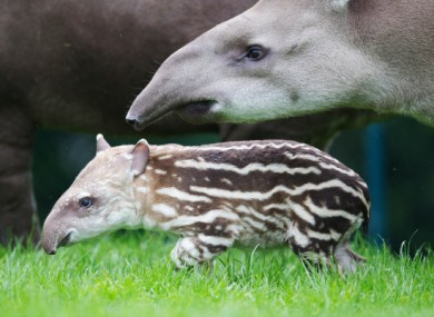 Rio, the tapir at the centre of the attack, with her calf in July.