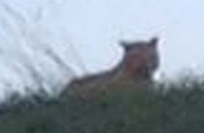 That tiger on the loose in Paris is 'probably just a big cat'