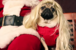 This little pug has beautifully parodied All I Want For Christmas Is You