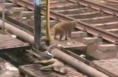This monkey rescuing its electrocuted pal is what friendship is all about