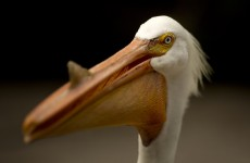 Someone in Florida keeps slashing pelicans' pouches so they starve