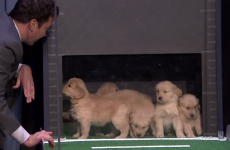 Everybody be cool… but Jimmy Fallon got a load of puppies to predict the college football decider!